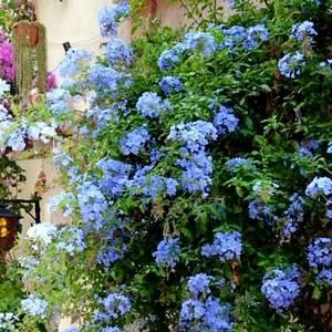 Плюмбаго украсит любой сад