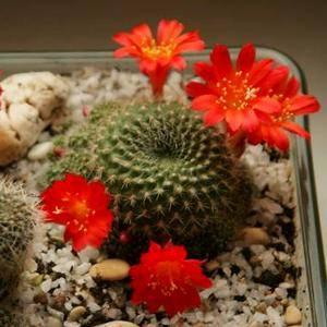 Ребуция радует великолепным цветением