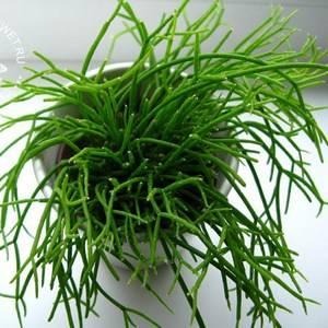 Рипсалис может расти на менее плодородных почвах