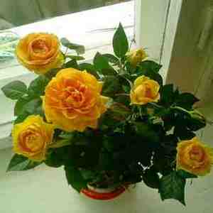 Комнатные розы станут настоящим украшением сада