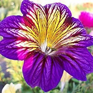 Сальпиглоссис радует яркими цветами