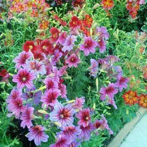 Сальпиглоссис хорошо смотрится в садовом дизайне