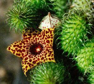 Стапелия радует очаровательными цветами