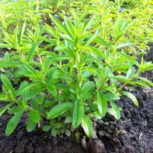 Стевия может расти на менее плодородных почвах
