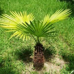 Трахикарпус может расти в саду