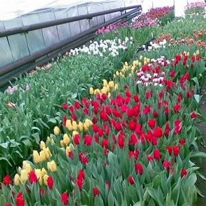 Тюльпаны можно выращивать в теплице