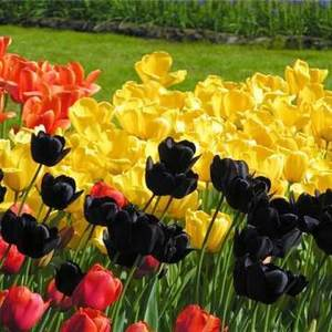 Тюльпаны устойчивы к прохладной погоде