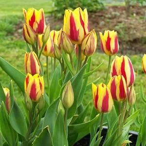 Тюльпаны радуют ярким цветением
