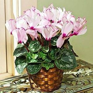 Цикламен персидский может цвести почти круглый год