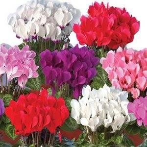 Цикламен персидский радует разнообразием цвета
