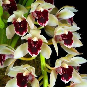 Цимбидиум радует долгим цветением