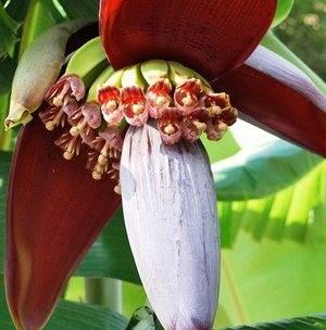 Банан цветет соцветиями, на которых есть три вида цветов