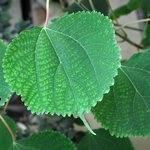 Boehmeria macrophylla-v