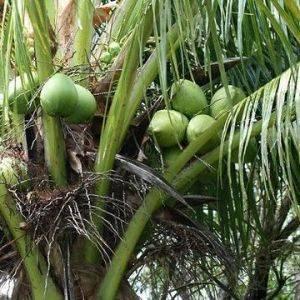 Кокос, выращиваем тропическое чудо в домашних условиях