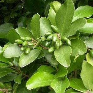 Corynocarpus-m