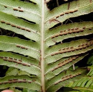 Вудвардия размножается делением корневища