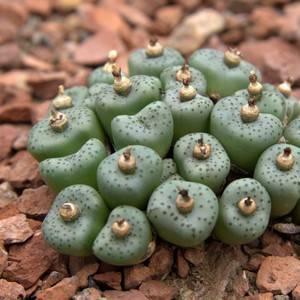 Conophytum obcordellum ssp. stenandrum