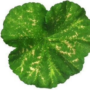 Недостаток азота вызывает хлороз листьев