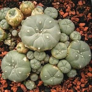 Лофофора размножается семенами