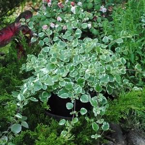 Плектрантус может расти как ампельное растение