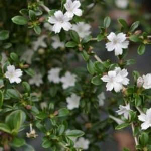 Второе название сериссы вонючей - дерево тысячи звезд