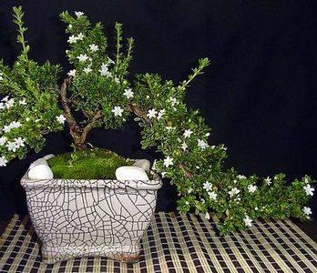 Сериссу можно выращивать в стиле бонсай