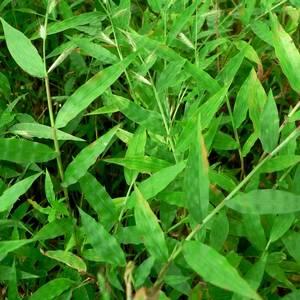 Оплисменус предпочитает органические удобрения