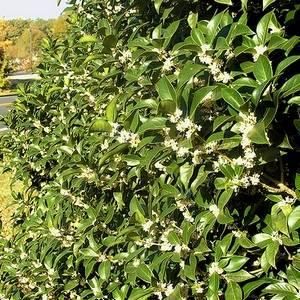 Османтус украсит любой сад