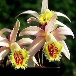 Плейоне украсит коллекцию орхидейных