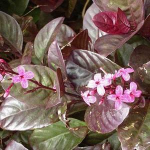 Псевдоэрантемум обладает декоративной листвой