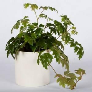 Роциссус ромбический используют в озеленении