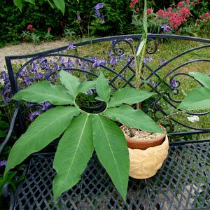 Сауроматум ядовитое растение