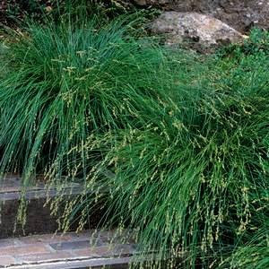 Карекс или осока используется в садовом дизайне