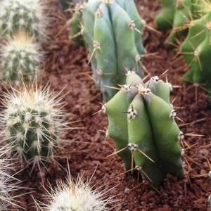 Миртиллокактус можно размножать вегетативно