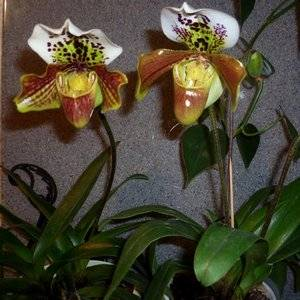 Пафиопедилум растет в субстрате для орхидей