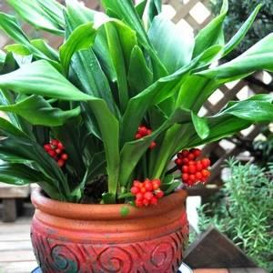 Родея теплолюбивое растение