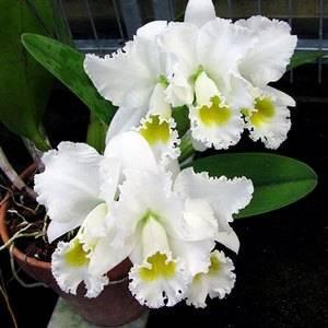Каттлея теплолюбивая орхидея