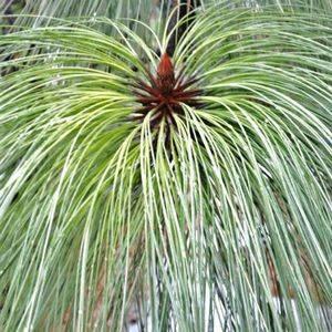 Сосна Монтесумы предпочитает слабокислые почвы