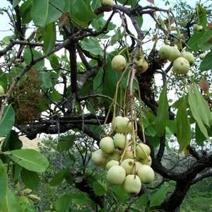 Сизигиум в открытом грунте дает плоды