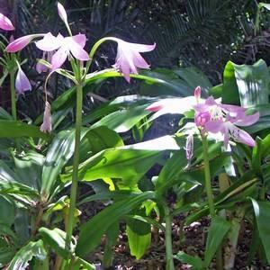 Кринум Мура используют в садовом дизайне