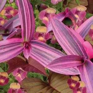 Сеткрезия выращивается как ампельное растение