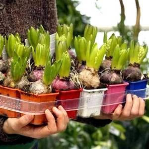 Выгонка луковичных гиацинты