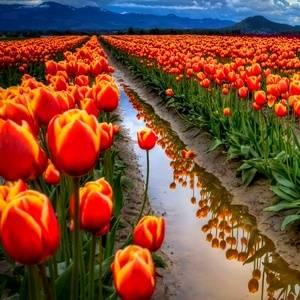 Выгонка луковичных тюльпаны