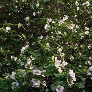 Розовик керриевидный