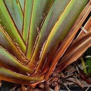 Формиум можно выращивать в домашнем саду