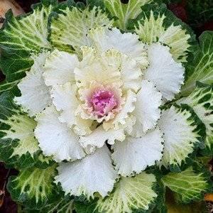 decorat_cabbage-2