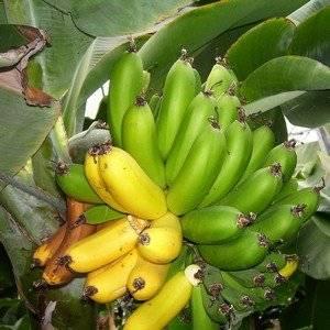 Бананы выращивают из семян