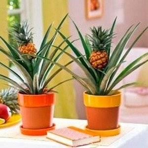Ананас может давать плоды в домашних условиях