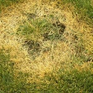 Желтая трава на газоне