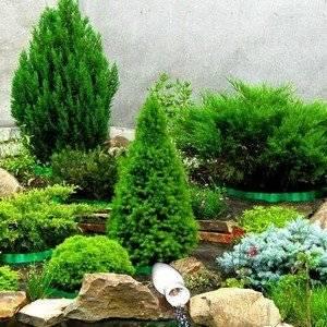 Хвойные растения украсят любой сад